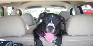 Lös hund i bilen kan bli dyrt - så slipper du böter | Säker Hund