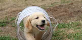 Gullig valp i tunnel - 5 anledningar till varför du skall ha en hundförsäkring
