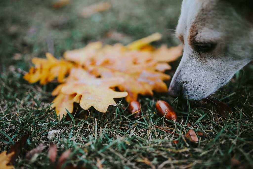 Ekollon är giftiga för hundar att äta.