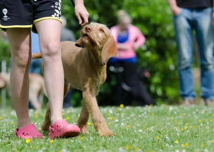 5 viktiga kommandon din hund måste kunna följa