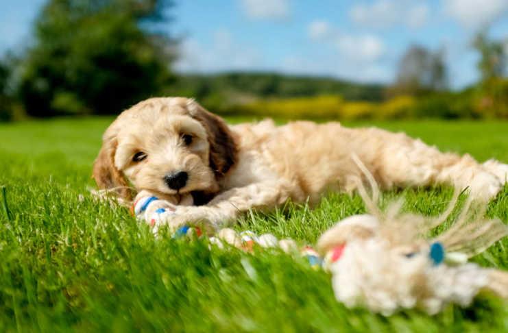 Köpa hundvalp - 15 saker du behöver veta innan